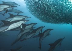 """Dolphins attacking baitball, Sardine Run, Wild Coast, South Africa """"sardine wars ep. V"""" by Alexander Safonov Common Dolphin, Pictures Of The Week, Sea Birds, Underwater World, Underwater Photography, Ocean Life, Marine Life, Sea Creatures, Under The Sea"""