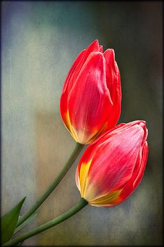 Time for Tulips