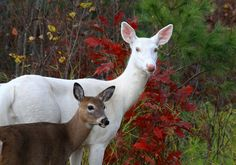 Albino deer-WOW....have never seen one of these...must put a picture in my nephews alphabet book!