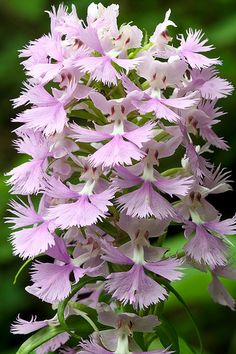 Large-Purple-Fringed-Orchid [Platanthera grandiflora], in habitat, Chattahoochee National Forest, Lumpkin County, Georgia | Flickr - Photo Sharing!