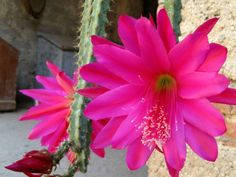 Disocactus speciosus – Sun Cereus - See more at: http://worldofsucculents.com/disocactus-speciosus-sun-cereus/
