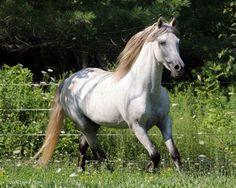 The Paso Fino is a naturally-gaited light horse breed dating back to horses imported to the Caribbean from Spain.