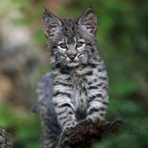 bobcat kitten by rarecollection. Cute Baby Animals, Animals And Pets, Funny Animals, Wild Animals, Beautiful Cats, Animals Beautiful, Chat Bizarre, Bobcat Kitten, Baby Bobcat