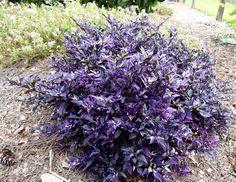 Purple Flash Chilli Pepper - Ornamental - Capsicum Annuum - 5 Seeds
