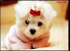 White Puppies Fluffy Dogs And Doggies Cute Puppy Pictures