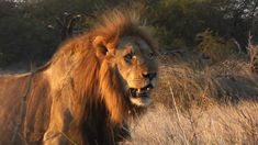 Happy Fathers-day to all the great Fathers out there. Kruger National Park, National Parks, Male Lion, Great Father, Happy Fathers Day, Lions, Grass, Africa, Morning Sun