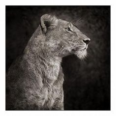 animals, lions