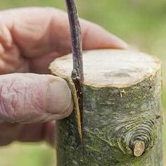 How to graft a fruit tree in a crown: step by step - Plants, Garden Trees, My Secret Garden, Garden Online, Garden Accessories, Grafting, Permaculture, Fruit Trees, Blackberry Farms