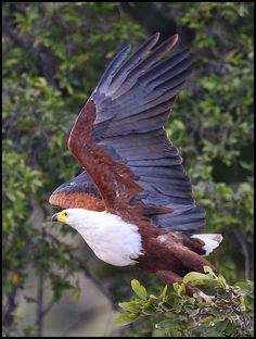 African Fish-Eagle ~ By Frik Erasmus