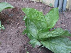 Il Gusto Della Natura: Come coltivare l'Insalata: la Lattuga (Lactuca sativa) nell'orto.