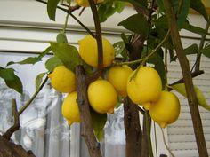 lemons for vertigo