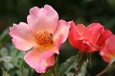 Love roses but hate to spray? Here's a selection of expert-recommended, disease-resistant roses for the coastal Pacific Northwest.