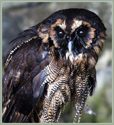 "The brown wood owl    Brown Wood Owl (Strix leptogrammica)  Length 34-55cm 15-22""  Wingspan 94-130cm 77-51""  Weight 800-1100g 28-39oz"