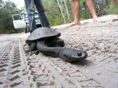 Long Neck Turtle of  Fraser Island, Australia