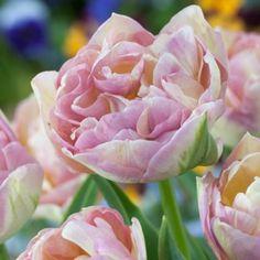 Sweet Desire Tulip