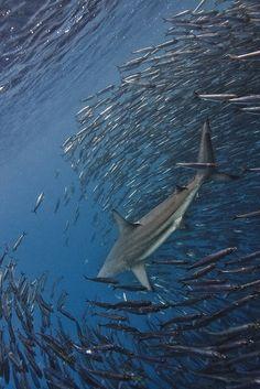 black tip reef shark (by Paul Cowell)