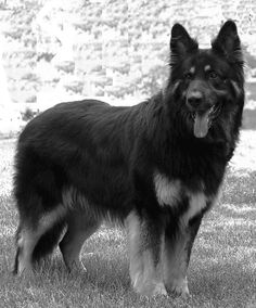shiloh shepherd photo | autour_livres: Profession: Le Shiloh Shepherd