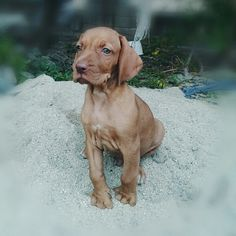 My baby vizsla. Like a lion.