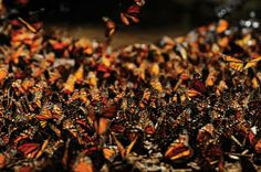 No single monarch butterfly completes its migration from Mexico to as far north as Canada and back. Instead, generations of monarchs make this journey  born into a relay race no one butterfly finishes.