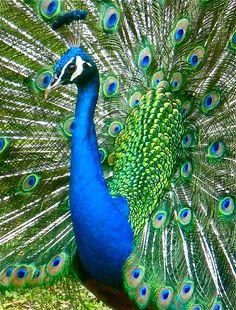 #peacock