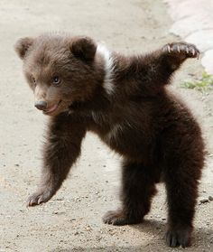 A Bear Cub Playing at the Stavropol Zoo, Russia. Looks just like Little Bear! Baby Bear Cub, Bear Cubs, Baby Bears, Tiger Cubs, Tiger Tiger, Bengal Tiger, Grizzly Bears, Panda Bears, Nature Animals
