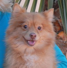 Chaucer and hundreds of other rescued animals would love to meet you today at Nevada SPCA (www.nevadaspca.org), which is open from 10am-4pm on the New Year's Day holiday.  Chaucer is a vibrant young Pomeranian mix, 3 years of age and neutered, housetrained, and good with other dogs.  He was at another shelter that asked for our help due to his timidity, especially with men.  Once he warms to you, Chaucer brightens and dances and reveals tremendous charm.  Gentle home needed.