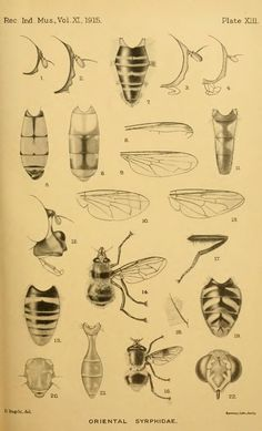 XIII. Notes on Oriental Syrphidae with descriptions of new species. Part II. - BioStor