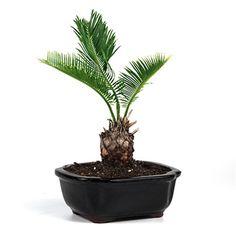 minature sago palm