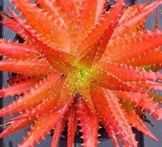 醍醐味。 #cacti#cactus#caudex#succulents #succulent#サボテン#多肉植物#多肉 #plant#plants#植物#cactusmagazine #aloe#アロエ#変態アロエ党#beautiful #変態サボテン党