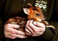 Muntjac Fawn At Red River Zoo Fargo Nd