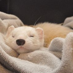 Alba, Nola's white ferret familiar *Alba is Latin for 'white'