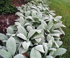 Lamb's Ear (Facts about the useful herb and landscape plant -- it's a softie,and easy to grow, too!)