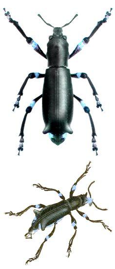 Aegorhinus nodipennis