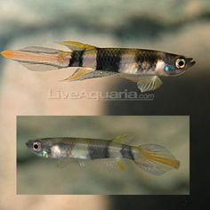 Clown Killifish Aplocheilus annulatus