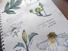 Matilija Poppies ~ from my sketchbook by janelafazio.com