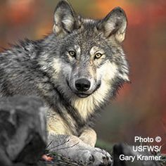 Stop Wolf Killing