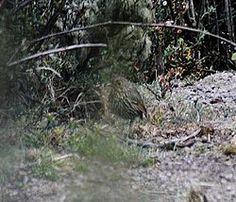 Stripe-headed Antpitta (cropped).jpgEl tororoí andino4 o tororoi de cabeza listada (en Perú) (Grallaria andicolus), también denominado chululú de cabeza rayada,3 es una especie de ave paseriforme perteneciente al numeroso género Grallaria de la familia Grallariidae, anteriormente incluido en Formicariidae.5 6 Es nativo de los Andes de Bolivia y Perú.