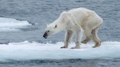 Šokující fotografie ledních medvědů ukazují dopady globálního oteplování, za které jsme zodpovědní my všichni