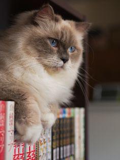 Cat in the bookshelf (by Akimasa Harada)