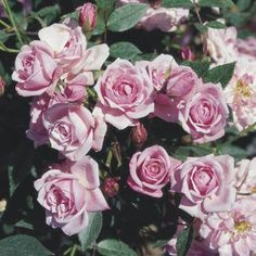 Patio Climber - Beautifully formed, high pointed buds opening to attractive mid-pink bloo Buy Roses, Climbers, Nurseries, Shades, Patio, Garden, Flowers, Plants, Pink