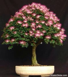 Mimosa Bonsai--oh my gosh! I want one!                                                                                                                                                                                 More