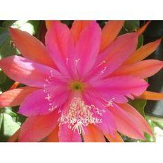 """Epiphyllum """"Mr. P"""" Orchid Cactus Cutting"""