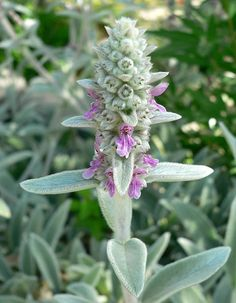 How to Grow Lambs Ears (A charming little herb that may make a good groundcover and can be cute addition to a child's garden.