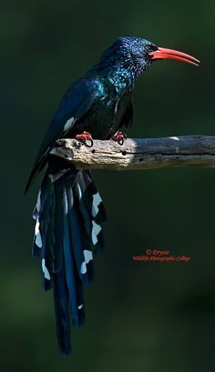 GREEN WOOD-HOOPOE - large, up to 44 cm long, near-passerine tropical bird native to Africa - formerly known as the red-billed wood hoopoe.  The WOOD HOOPOES and SCIMITARBILLS are a small African family, Phoeniculidae.