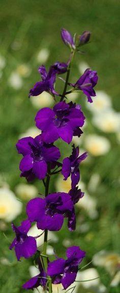 Larkspur Plant, Larkspur Flower, Flowers Perennials, Planting Flowers, Flowers Garden, Purple Flowers, Beautiful Flowers, Exotic Flowers, Yellow Roses