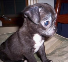 ... Chihuahua Mix on Pinterest   Pug Beagle Mix, Pug Mix and Dogs For