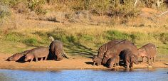Hippo at Motswari Private Game Lodge. Game Lodge, Private Games, Tourism, Wildlife, Elephant, Hotels, Gallery, Quote, Book