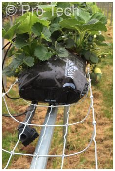 Wire basket strawberry tabletops: www.pro-tech-marketing.co.uk Strawberries wire basket tabletops with proprietary design brackets and support system Vertical Gardens, Wire Baskets, Allotment, Hydroponics, Strawberries, Farming, Tech, Gardening, Outdoor Decor