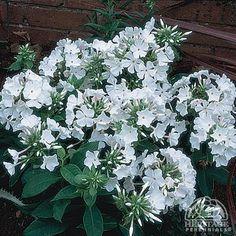 Phlox paniculata White Flame™