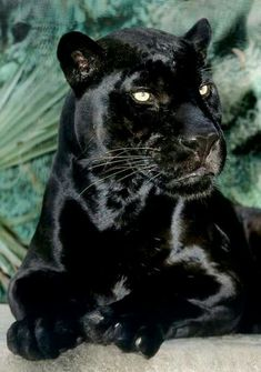 Beautiful black, sleek panther